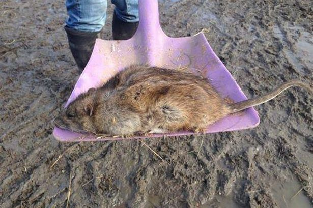 Óriáspatkány (patkány, )