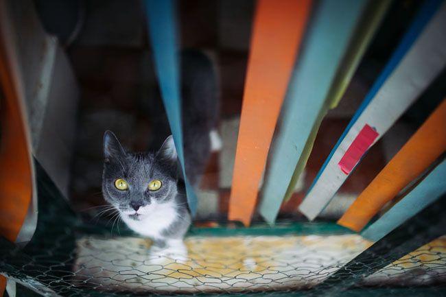 macskás ember (macska, )