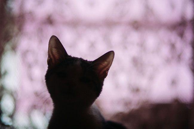 macskás ember (macska)