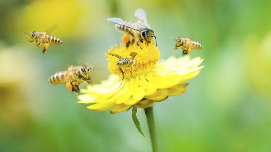 Méhek (méh, méhek, virág, napraforgó, )