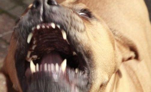 Dühös pitbull (pitbull, )
