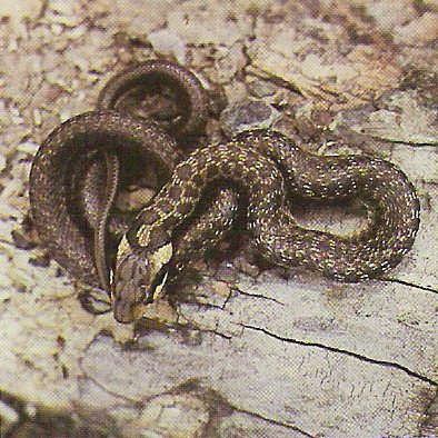 Erdei sikló (erdei sikló, kígyó, sikló, hüllő)