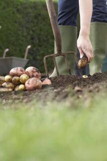 Krumpli, burgonya (krumpli, burgonya)