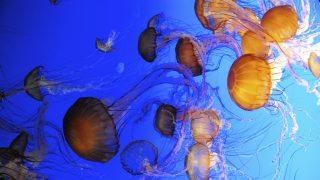Medúza (medúza, )