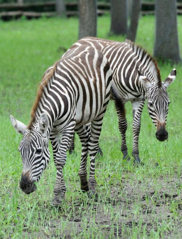 Zebra1 (zebracsikó, zebra, állatkert, )