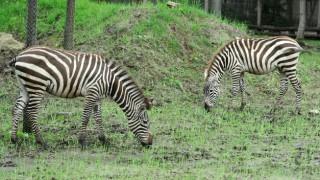 Zebra2 (zebracsikó, zebra, állatkert, )
