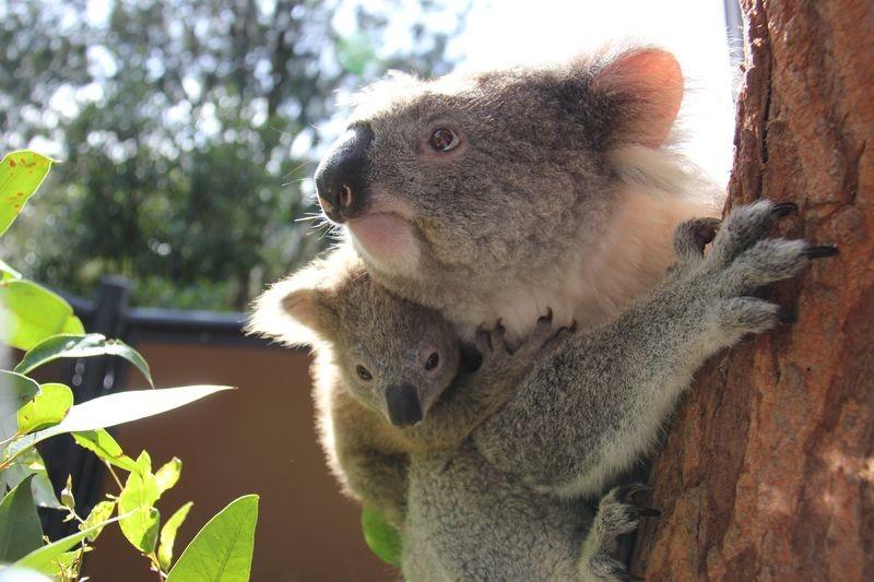 koala (koala, napi cuki, )