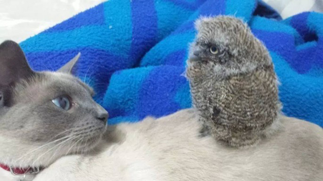 macskabagyoly (macska, bagoly, napi cuki, )