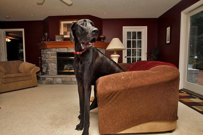 zeus, a világ legmagasabb kutyája (kutya, legmagasabb kutya, )