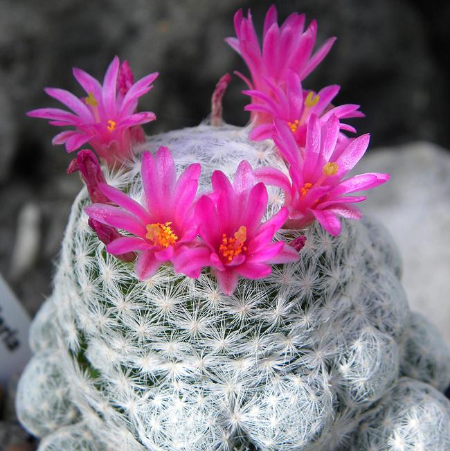 kaktusz, mammillaria hernandezii (mammillaria hernandezii)