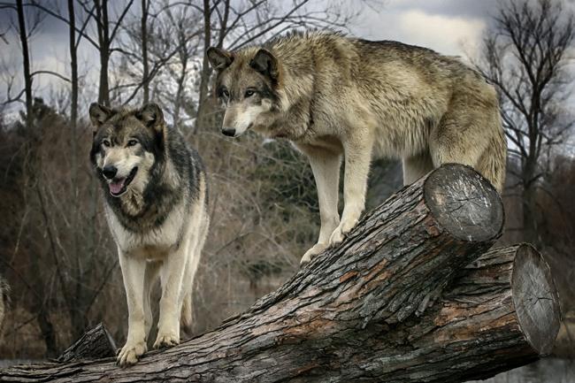 farkas (farkas, állat, erdő, állatmese,)