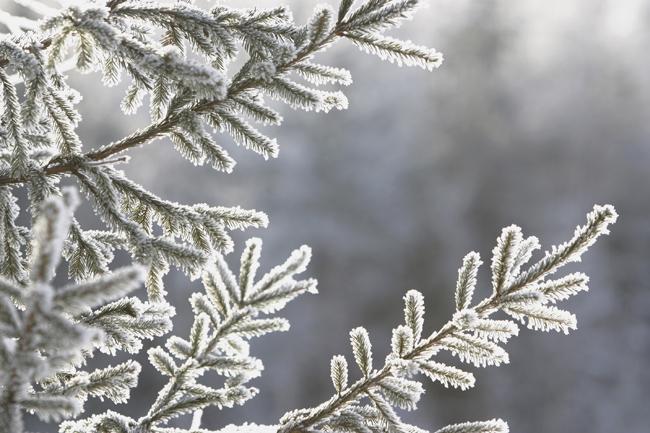 fenyőág hó (havazás, hó, fenyőág, december, Karácsony, tél)