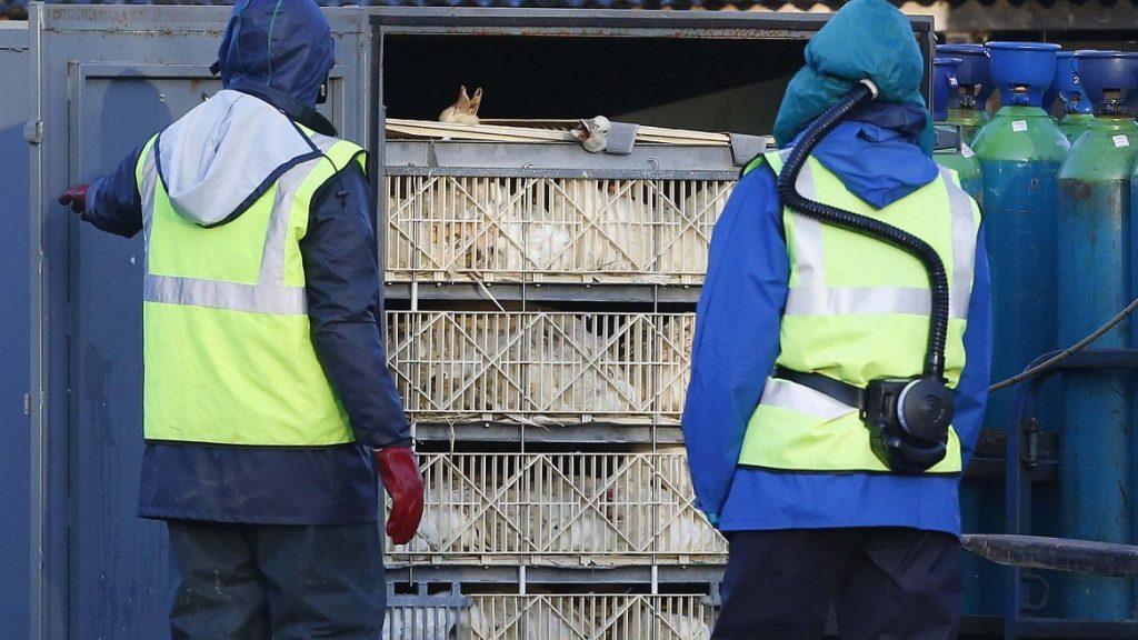 madárinfluenza hollandiában (madárinfluenza, hollandia)