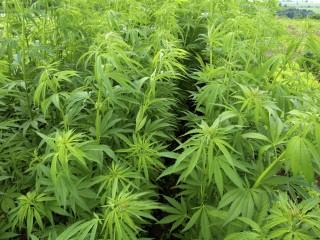 Marihuanaultetveny(210x140).jpg (marihuánaültetvény, marihuána, fű, )