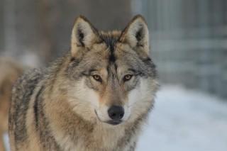 Szökött farkas (farkas, )