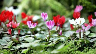 ciklámen (ciklámen, virág, növény)
