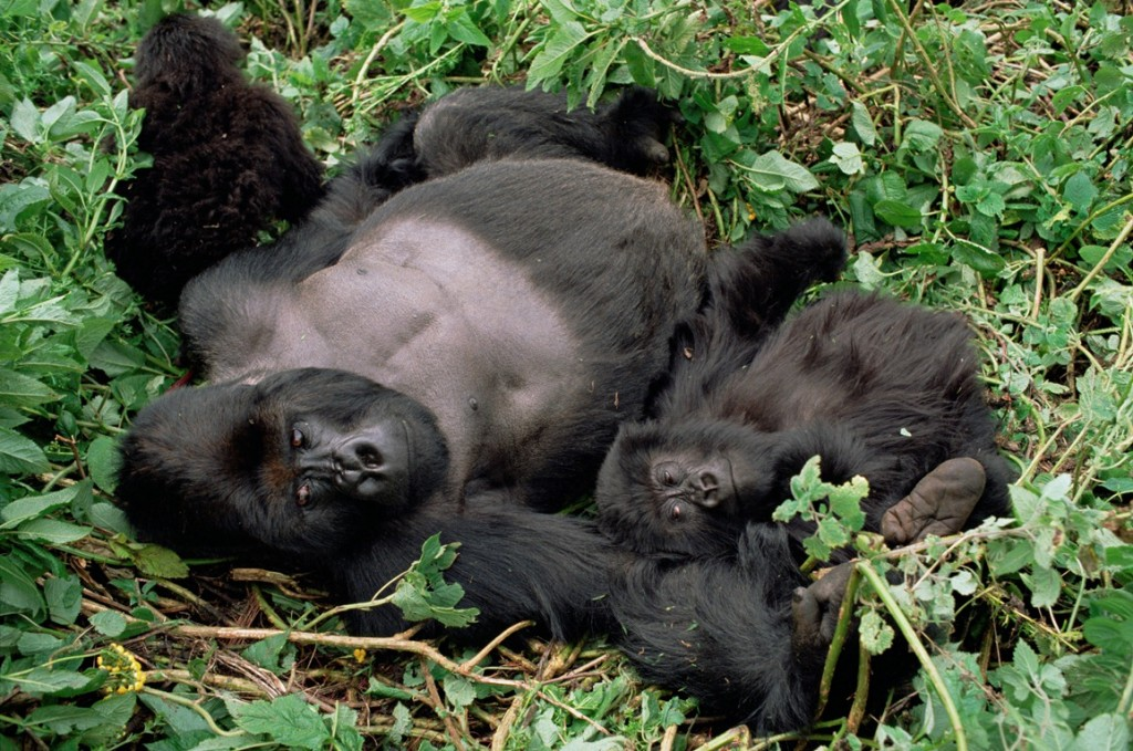 gorillák (gorilla, virunga)