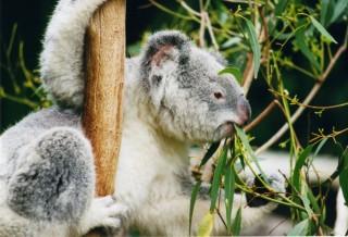 koala (koala, )