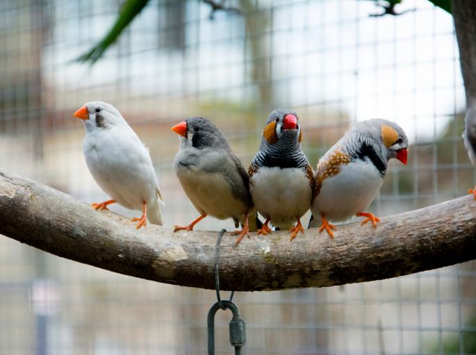 zebrapinty (madár, zebrapinty, )