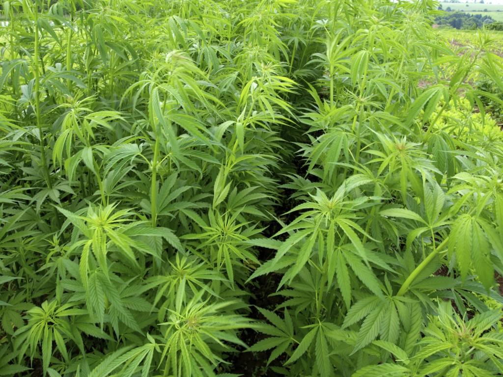 Marihuanaultetveny(960x640).jpg (marihuánaültetvény, marihuána, fű, )