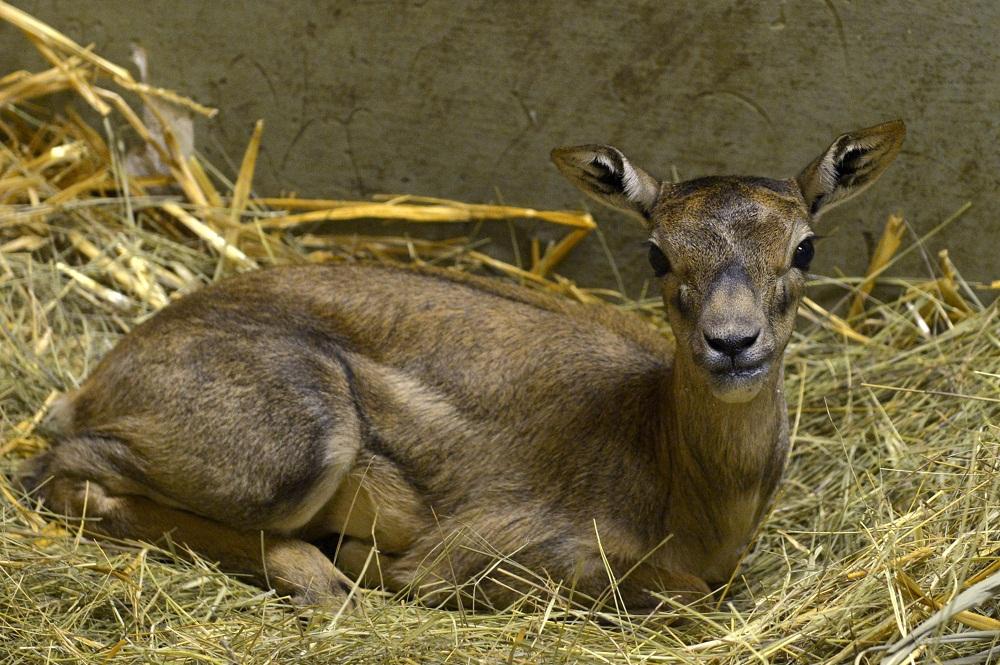 boldizsár az antilopborjú (antilop)