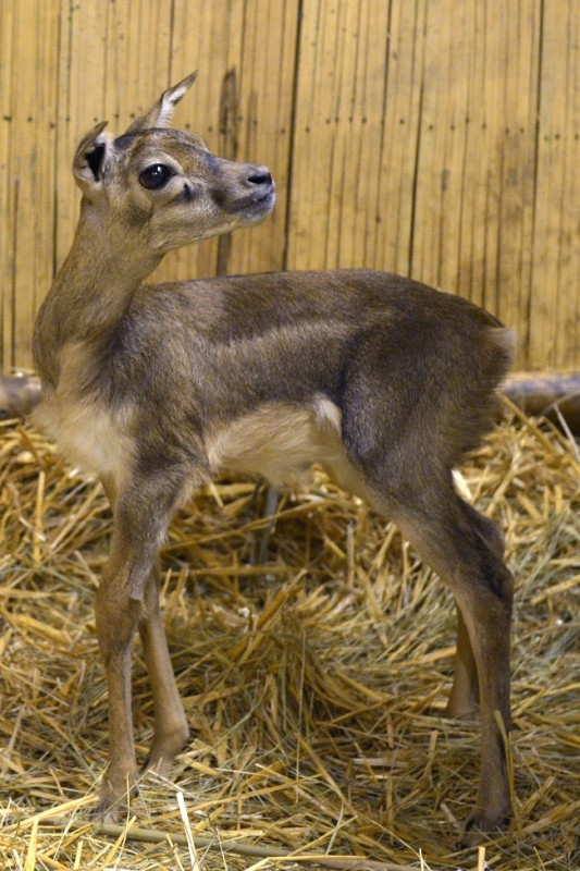 boldizsár az antilopborjú (antilop, )