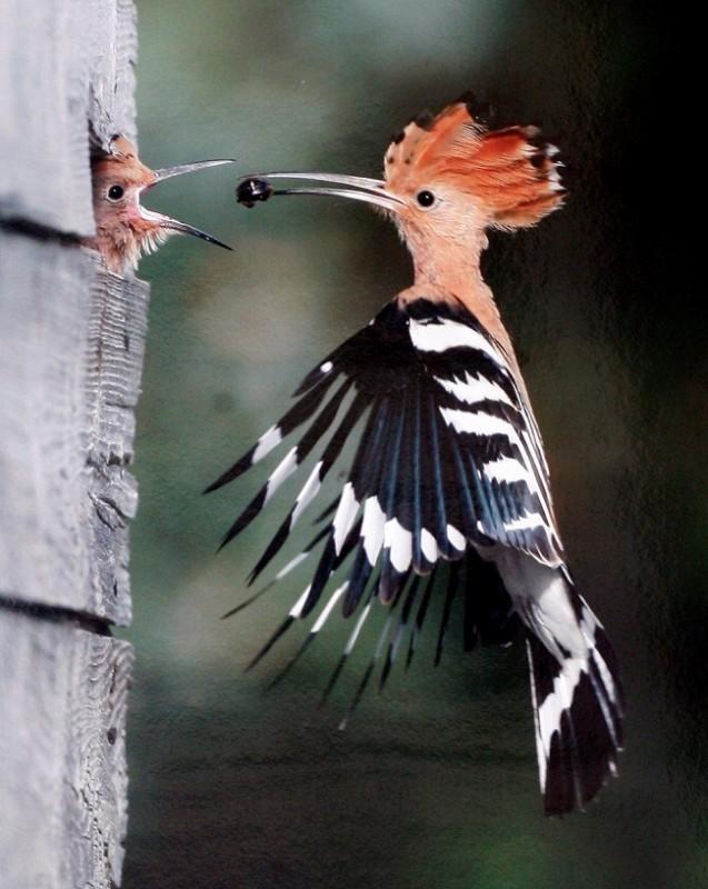 búbos banka (búbos banka, madár, )