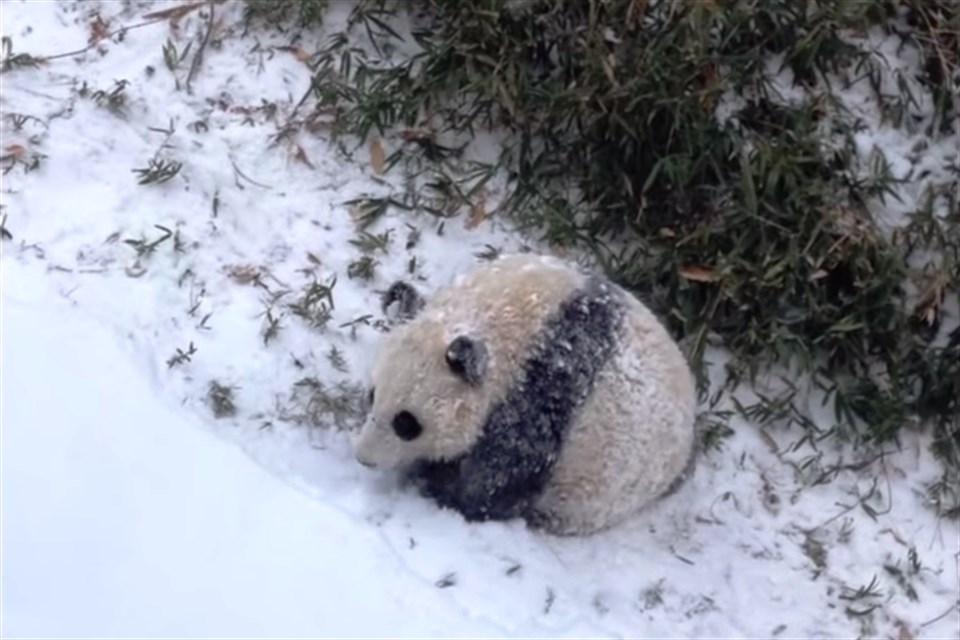 havas-panda(960x640).jpg (hó, panda, )