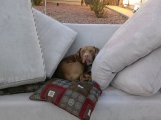kanapés pitbull (kutya, )