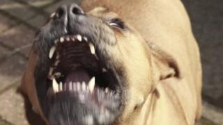 kutyatamadas(430x286).jpg (kutyatámadás, kutyaugatás, kutya)
