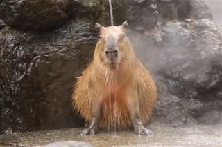 kapibara(960x640).jpg (kapibara, )