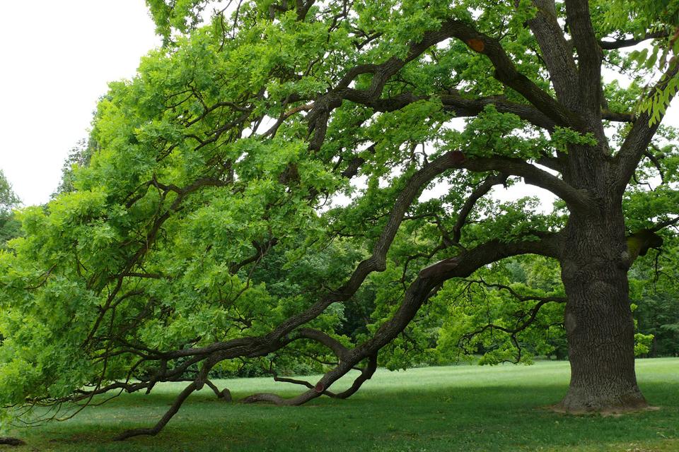 kocsányos tölgy (kocsányos tölgy, az év fája, )