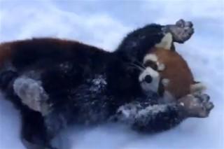 voros-panda(960x640).jpg (vörös panda, )