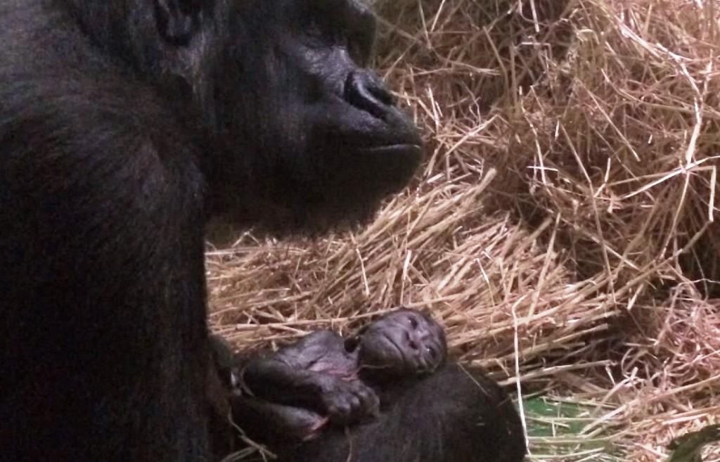 Gorillabébi (gorillabébi, ausztrália, )
