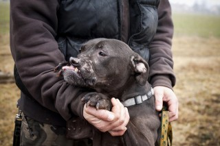 Smiley pitbull kutya (Smiley pitbull kutya)