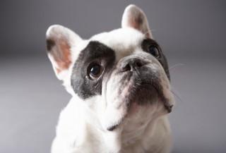 francia bulldog (francia bulldog, )