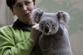 vobara (koala)