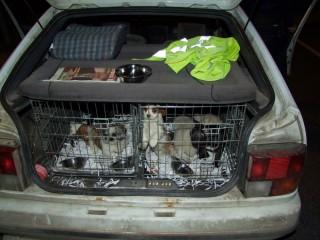 Kutyakölykök - csempész (kutyacsempész, )