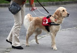 Vakvezető kutya (vakvezető, )