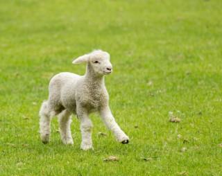 bárány (bárány, )