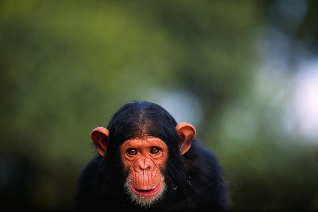 csimpánz (csimpánz, majom, bíróság, ember, emberi jog, személyiségi jog, kutatás, kísérlet, tiudomány)