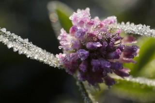 fagyos növény (fagyos növény, fagy, minusz, időjárás)