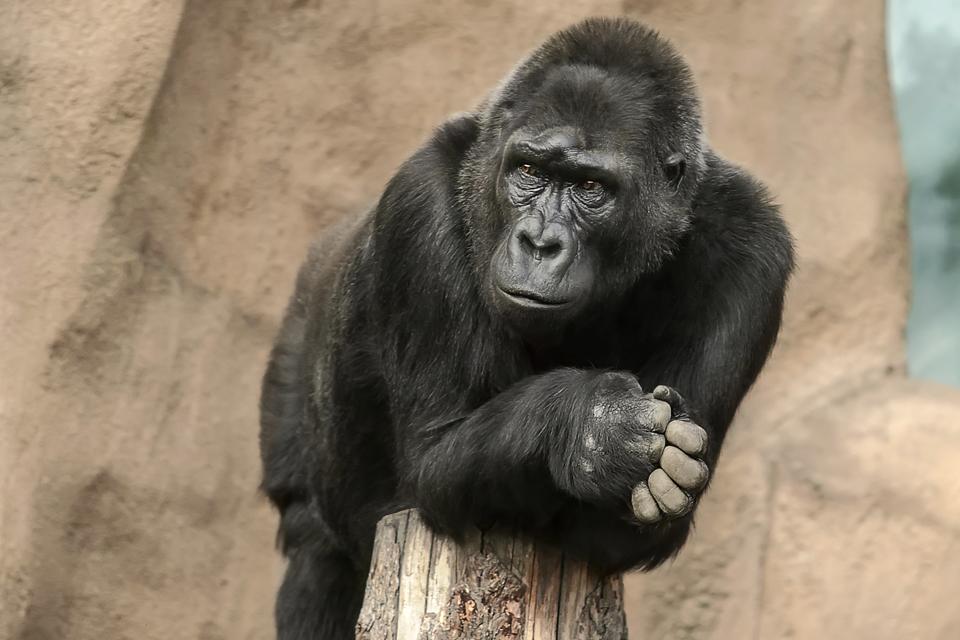 gorilla, Gerlóczy poszt itt (gorilla, Gerlóczy poszt itt)