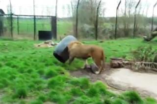 hordoba-szorult-oroszlan(960x640).jpg (oroszlán, beszorult, állatkert, videó, )