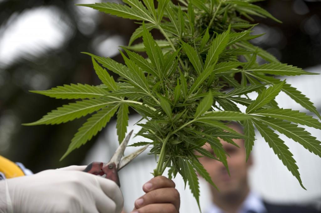 marihuána (marihuána, epilepszia, kutatás, kísérlet, gyógyítás, gyógyszer, orvosi marihuána, tudomány, )
