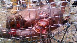 meztelen medve (szörny, medve, indonézia,)