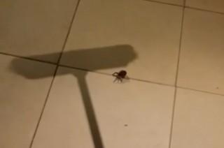 pók (pók)