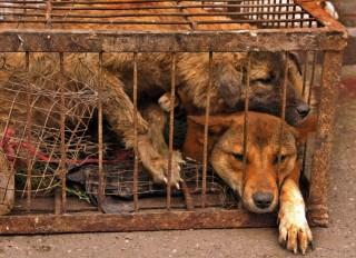Kutyák ketrecben (Array)