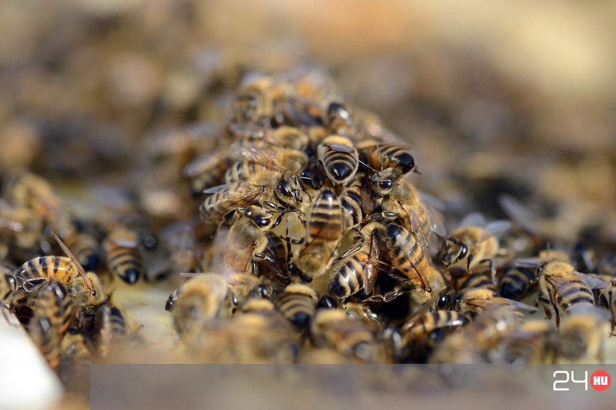 pikkelysömör kezelése méhekkel)