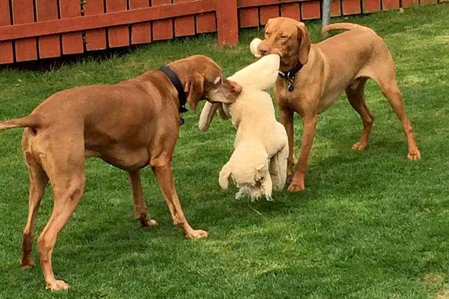 éhező kutya, vizsla (Array)